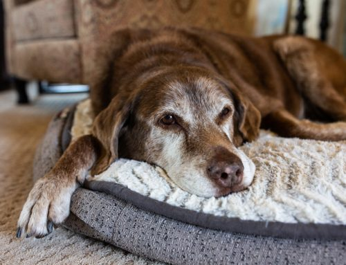 Senior Moments: Cognitive Dysfunction in Aging Pets