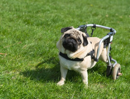 How to Care for Pets with Disabilities